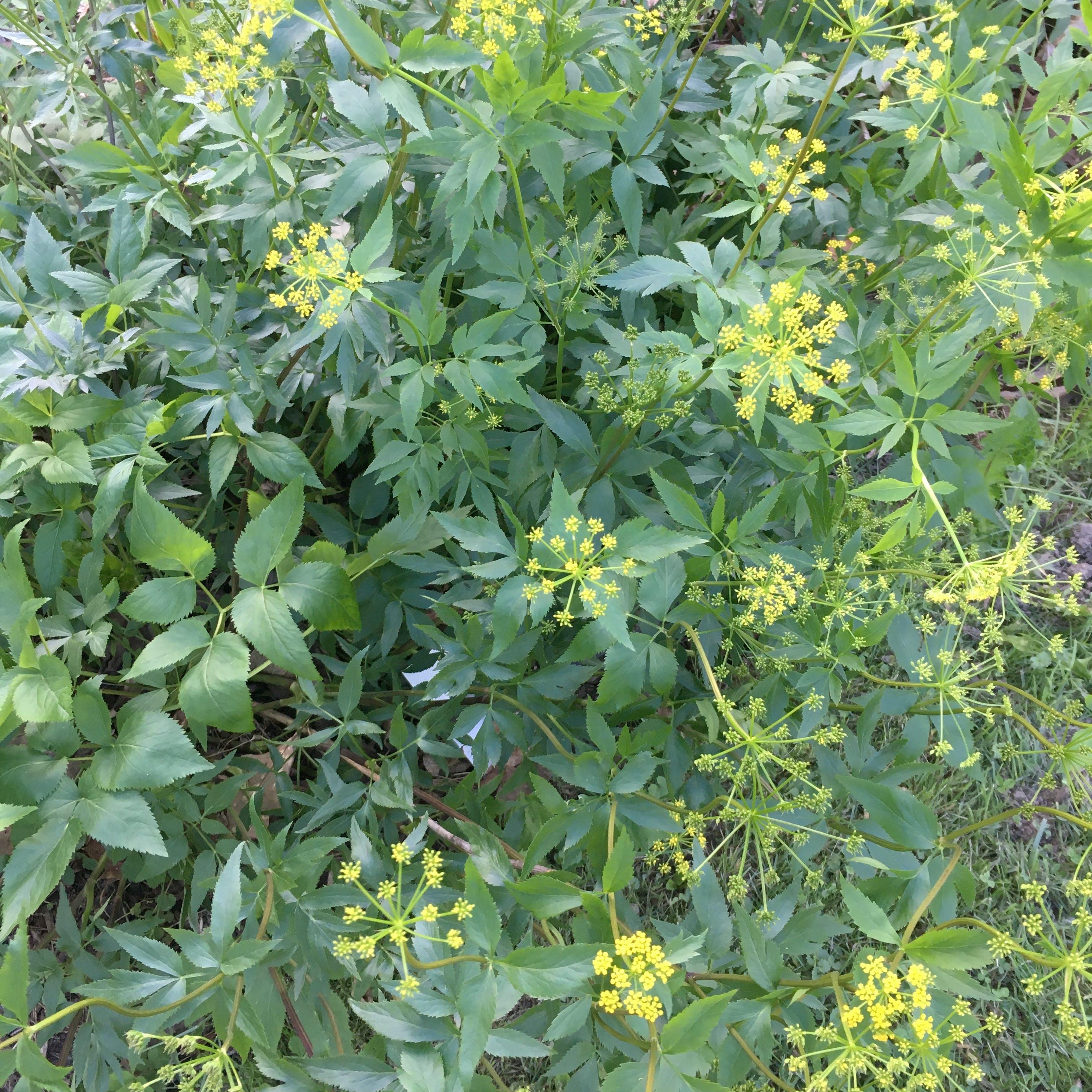 MAY in the pollinator garden. Zizia aurea (Golden Alexanders) is a host plant for Black Swallowtail caterpillars.
