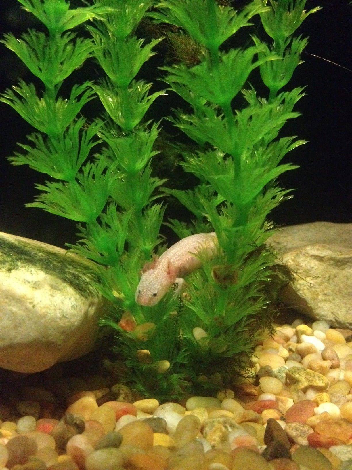 Barton Springs Salamander