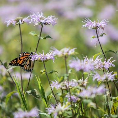 Crow-Hassan prairie in full summer bloom