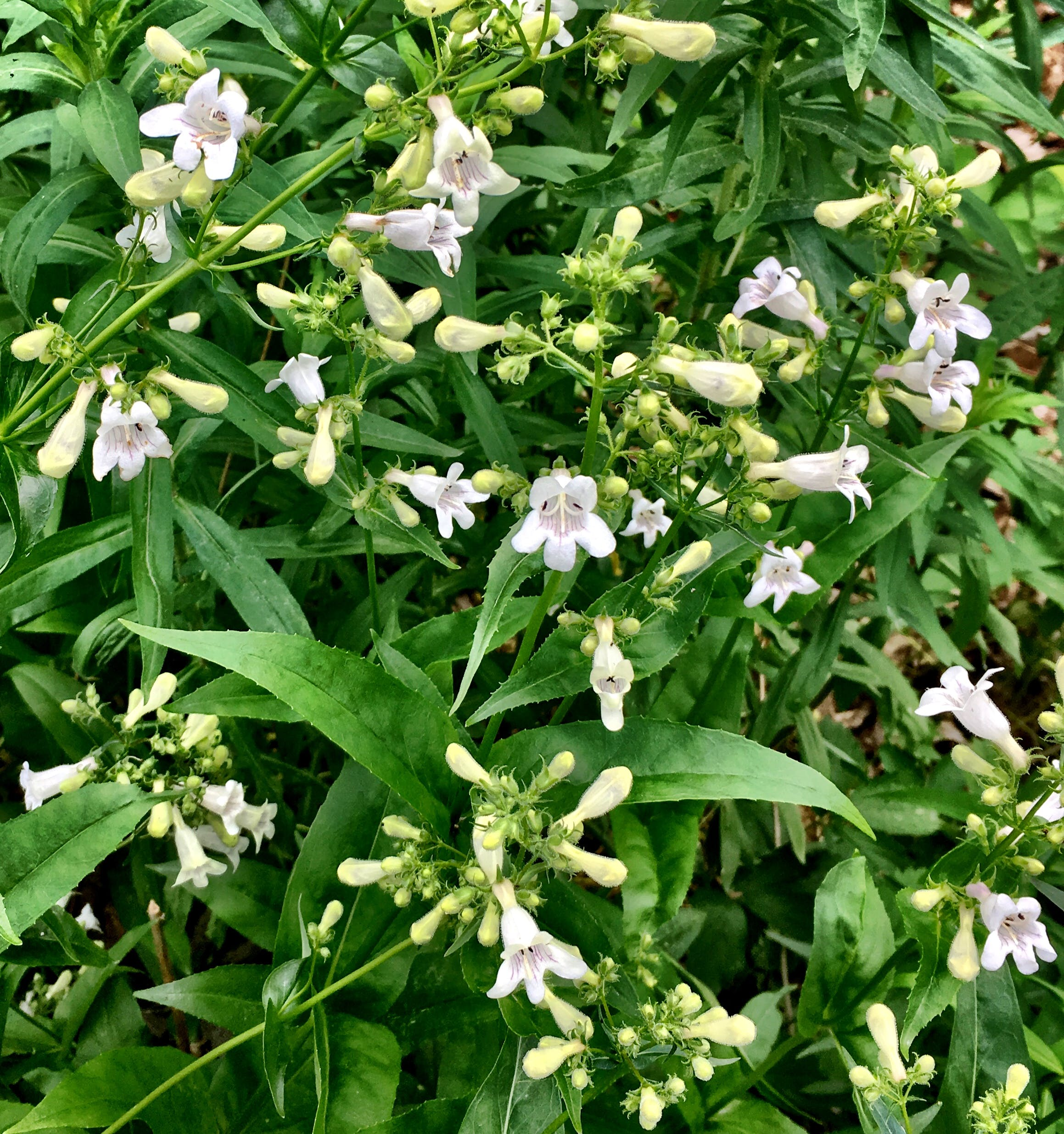 Penstemon digitalis blooming in June - This native plant attracts bees and hummingbirds