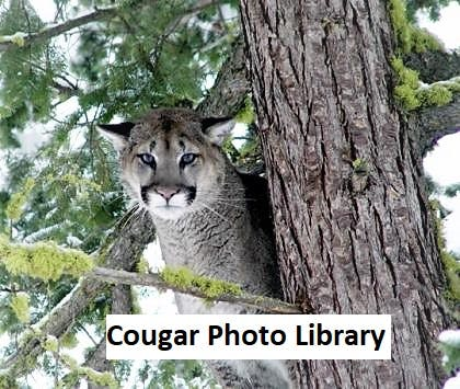 WDFW Stock Cougar Photo