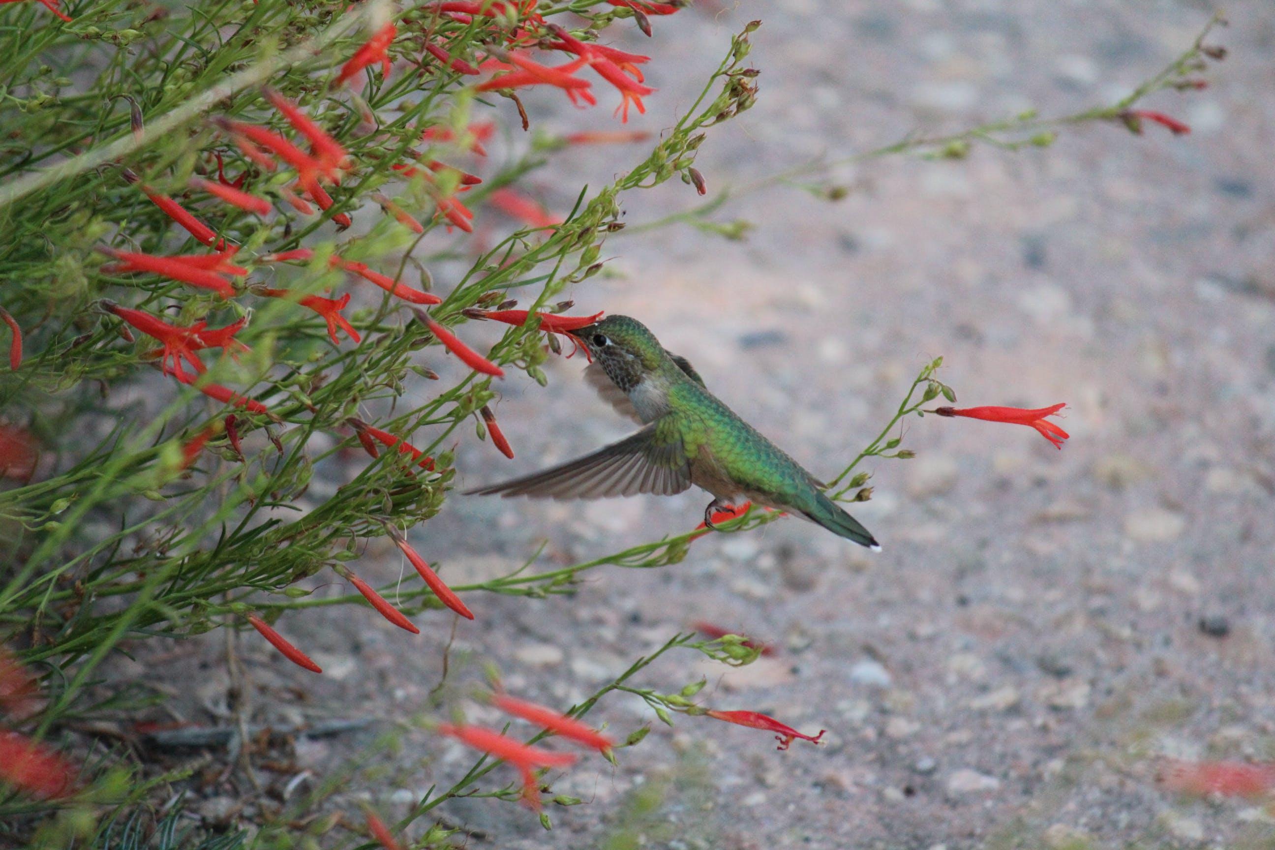 Broadtailed Hummingbird