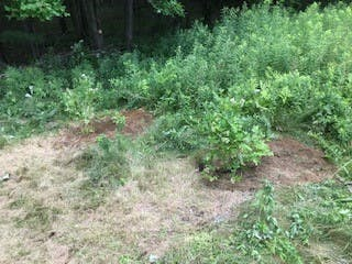 Blueberry bushes at Mobbs Orchard (1)