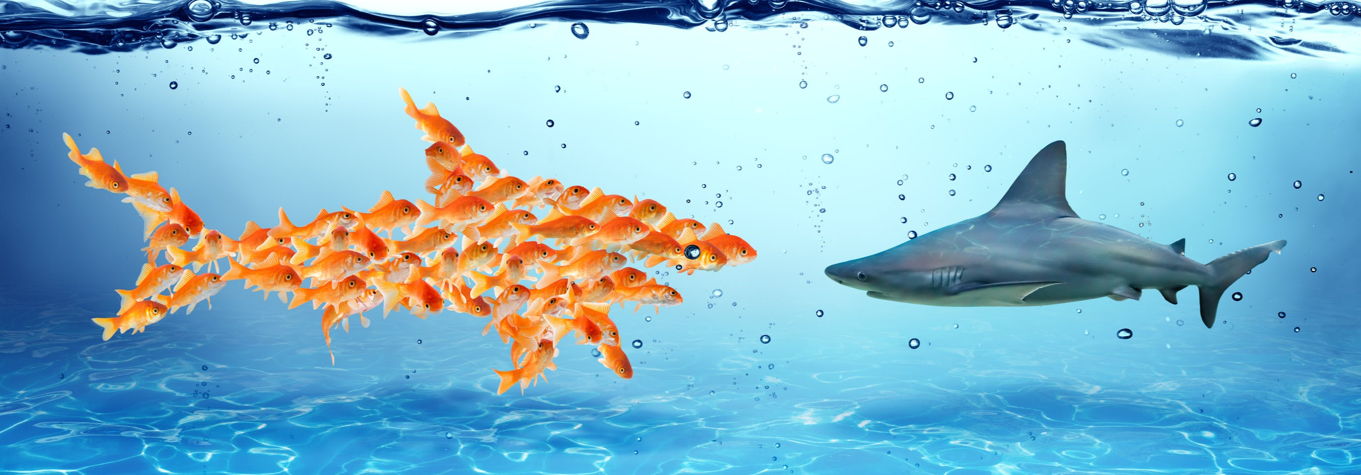 A school of gold fish comes together to confront the shark - we are stronger together!