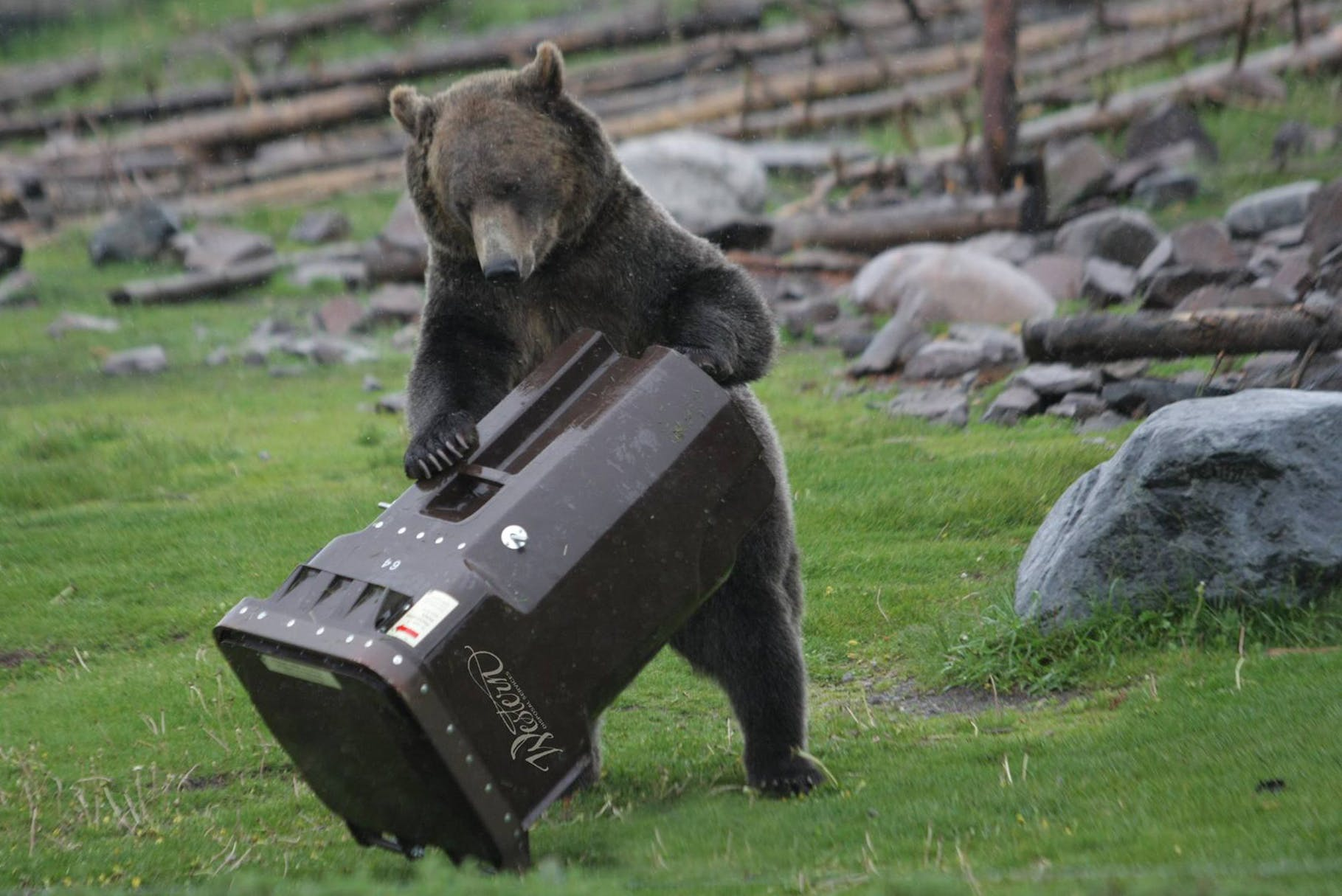 bear-testing-garbage-cart