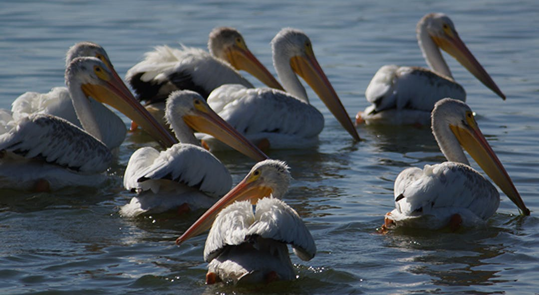 Pelicans float on lake.
