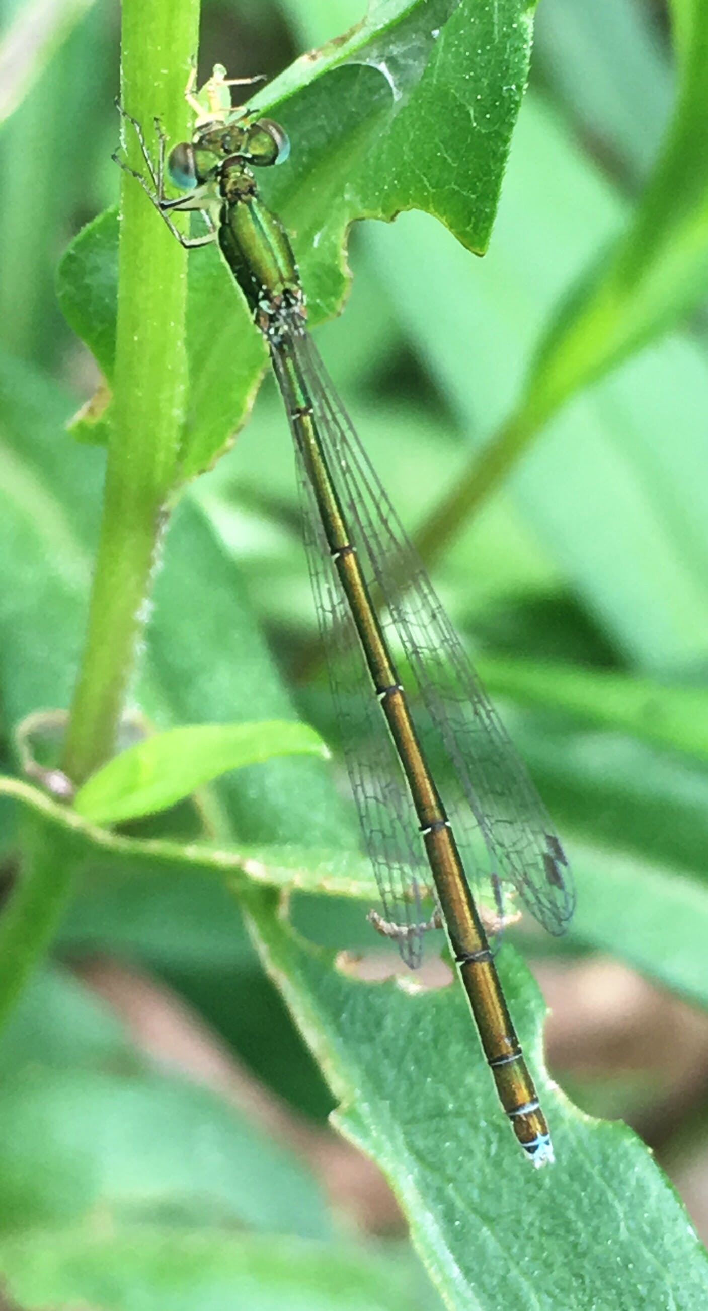 JUNE in the garden-A Sedge Sprite finds refuge among the plants