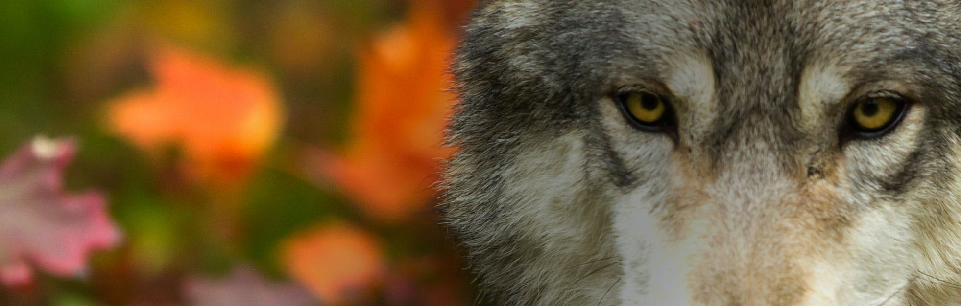 Closeup of a wolf in Minnesota.
